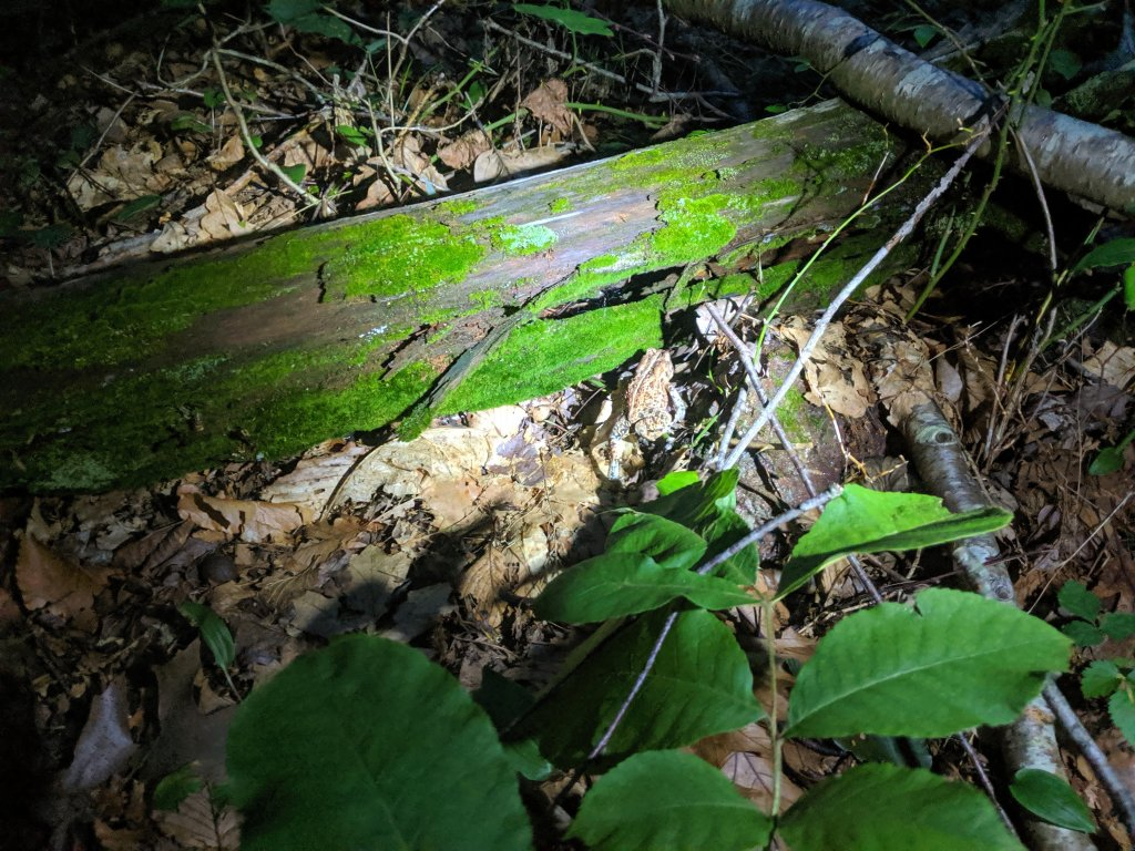 a toad after sunset hunched against a fallen log