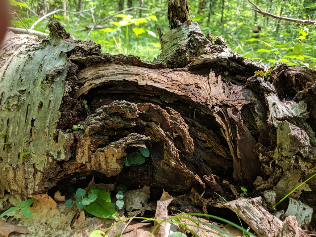 fallen tree with decaying bark